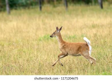 A white tailed deer runs in a field near Hauser, Idaho.