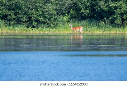 A white tailed deer wading through nelson lake in hayward, WI