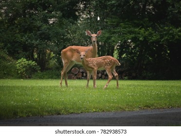 A White Tailed Doe and Fawn