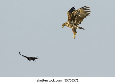 White Tailed Eagle attacking a crow