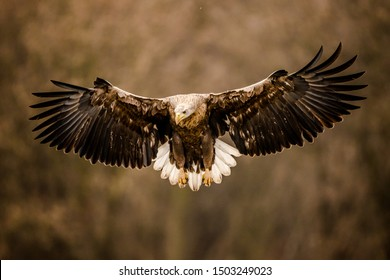 White tailed eagle in flight