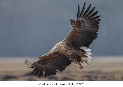 White tailed eagle in flight in full frame