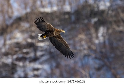 White tailed eagle in flight. Snow-covered mountain on the background. Winter season. Scientific name: Haliaeetus albicilla, also known as the ern, erne, gray eagle, white-tailed sea eagle.