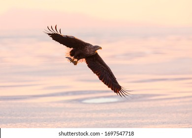 White tailed eagle in flight. Wild sea eagle from winter Japan, Hokkaido. Wild eagle in the beautiful morning light.