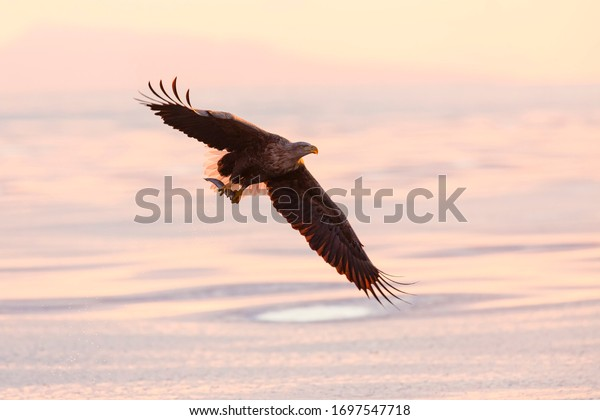 White tailed eagle in flight. Wild sea eagle from winter Japan, Hokkaido. Wild eagle in the beautiful morning light.