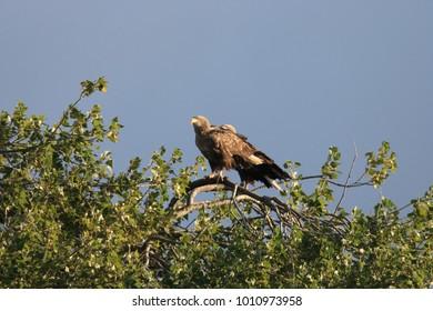 White tailed eagle germany