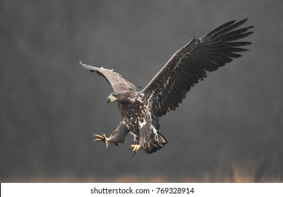 White tailed eagle (Haliaeetus albicilla) - young one