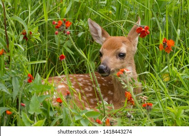White tailed Fawn in Orange Wildflowers
