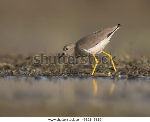 White tailed lapwing(Vanellus leucurus)