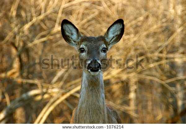 A white tailed mule deer (mammalia artiodactyla  cervidae caprolinae odocoileus hemionus) stands frozen in the woods after hearing a noise.