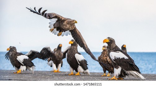 White tailed sea eagle and Steller's sea eagles.  Scientific name: Haliaeetus pelagicus,Haliaeetus albicilla.   Winter Season.