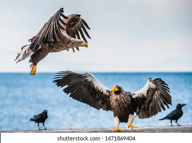 White tailed sea eagle and Steller's sea eagle.  Scientific name: Haliaeetus pelagicus, Haliaeetus albicilla.