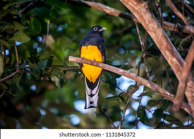 White tailed Trogon photographed in the city of Cariacica, Espirito Santo, Southeast of Brazil. Atlantic Forest Biome. Picture made in 2012.