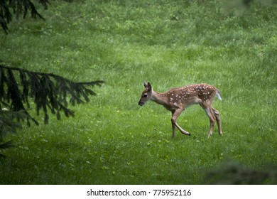 White Tale Deer in the Forest