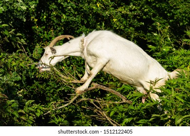 White tall goat with long curved horns stands on its hind legs and eats green foliage. Selective focus. Front legs of white goat abut against tree trunk. Close-up. Delights of living in countryside.