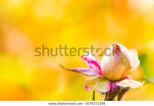 White tea rose bud with magenta tip