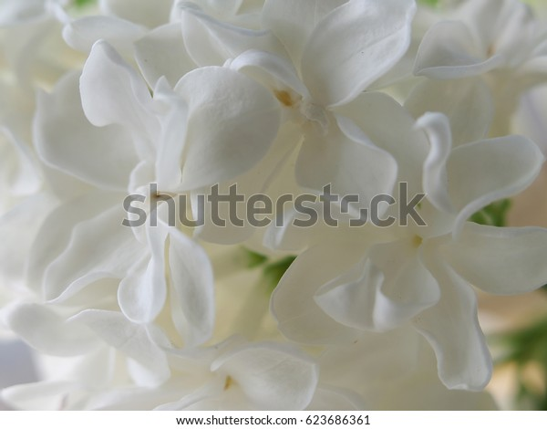 white tender background from closeup flowers of lilac, macro.