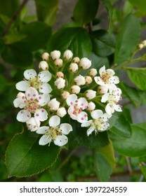 White tender flowers of black chokeberry  (Aronia melanocarpa) in spring on green leaves background. Closeup of Black Chokeberry shrub flowers with white petals and pink anthers. Selective focus.