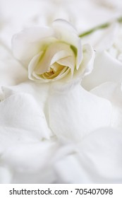 White tender rose on white rose petals - for condolence card design