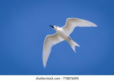White Tern, Dhondheena, the bird of Addu Atoll, Hitathu, Maldives