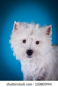 White terrier dog, Fluffy, trimming, grooming, West Highland