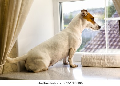 white terrier dog looking from the window
