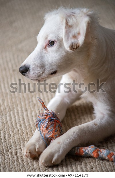 White terrier mixed-breed puppy playing with chew toy