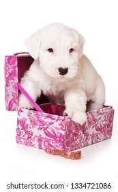 White terrier puppy sitting in a box (isolated on white)