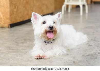 white terrier young dog sitting in the cafe, looking at people