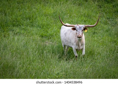 White Texas Longhorn cow standing in a field of tall grass looking directly at camera with copy space.