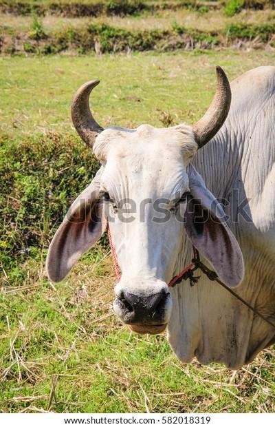 White Thai cattle