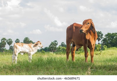 white thai cow in green, Family Cow in green field which traditional cow in urban, Cow in green field on sunset,
