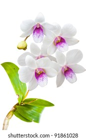 white thai orchids flowers.(This image contain clipping path)
