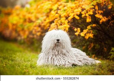 A white thoroughbred dog with dreadlocks lies under the autumn bush. Hungarian puli