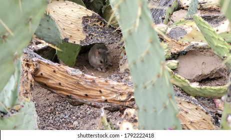 White throat wood rat, or pack rat, under a prickly pear cactus in the Sonoran Desert outside of Tucson, Arizona. Green cacti pads covered in sharp thorns and sandy arid landscape.