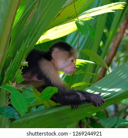 white throated capuchin behind leaves