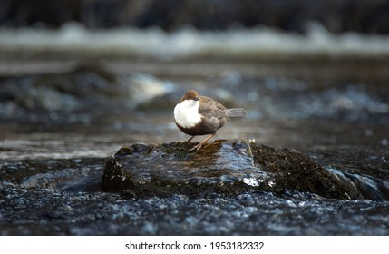 The white throated dipper Cinclus cinclus sitting on a stone and looking for food in winter, the best photo. - Shutterstock ID 1953182332