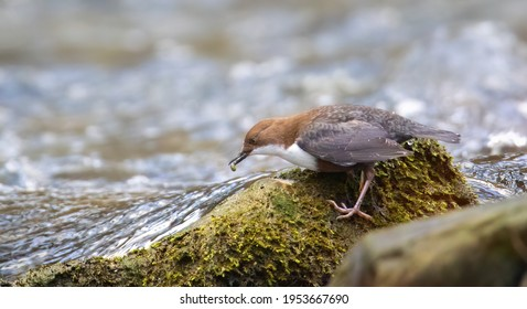 The white throated dipper Cinclus cinclus sitting on a hunts for food in the water in the river, the best photo. - Shutterstock ID 1953667690