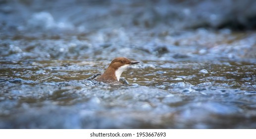 The white throated dipper Cinclus cinclus sitting on a hunts for food in the water in the river, the best photo. - Shutterstock ID 1953667693