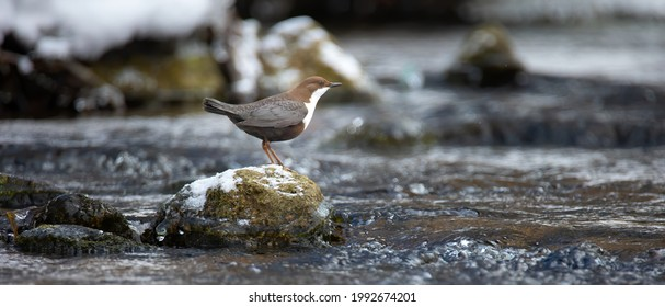 The white throated dipper Cinclus cinclus sitting on a stone and looking for food in winter, the best photo. - Shutterstock ID 1992674201