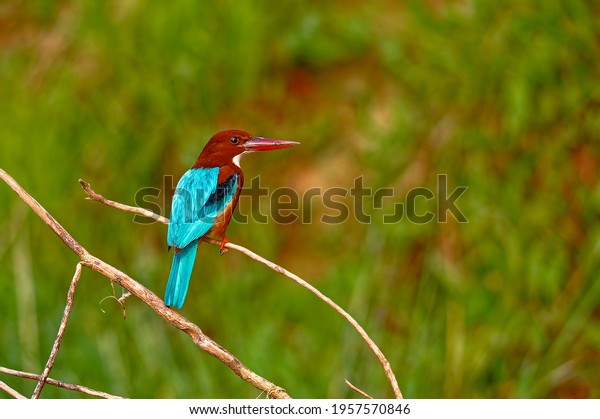 white-throated-kingfisher-on-twig-600w-1