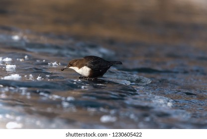 White throated, on river bank ice, eating water invertebrates