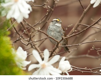 White throated sparrow in branches with white spring flowers