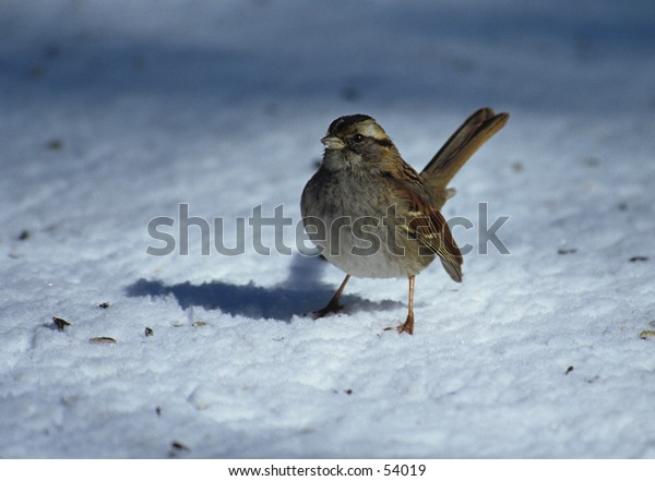 white throated sparrow in winter