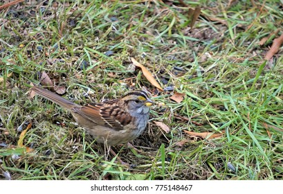 A white throated sparrow (Zonotricia albicollis) foraging on the ground, Autumn in GA USA.
