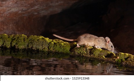 A white throated woodrat or pack rat walks along the rim of a moss covered water tank.