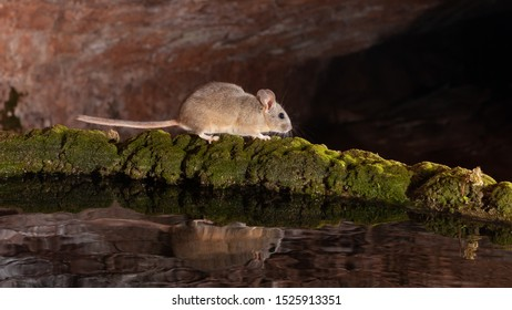 A white throated woodrat or pack rat sits on the rim of a moss covered water tank.