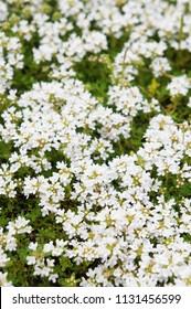 White thyme or thymus vulgaris flowers background