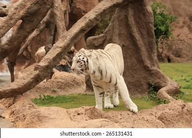 white tiger - Shutterstock ID 265131431