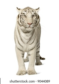 White Tiger (3 years) in front of a white background
